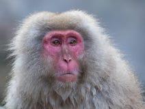 El mono de la nieve o el Macaque japonés en aguas termales onsen Imágenes de archivo libres de regalías