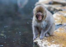 El mono de la nieve o el Macaque japonés en aguas termales onsen Fotografía de archivo