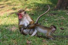 El mono de macaque de la madre está buscando un pueblo en pierna de los babys Fotografía de archivo libre de regalías