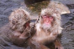 El mono de Onsen está siendo quitado la pulga por el amigo en Jigokudani Imagen de archivo