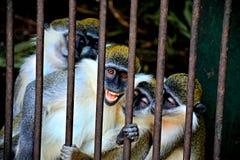 El mono de risa Fotos de archivo libres de regalías