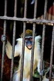 El mono de risa Fotos de archivo