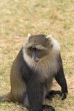 El mono de Sykes Fotografía de archivo libre de regalías
