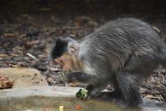 El mono del capuchón de Ungry cena en una rama Animal salvaje Fotos de archivo libres de regalías