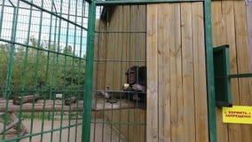 El mono del chimpancé en parque zoológico come una naranja almacen de video