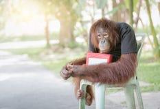 El mono del chimpancé se sienta en silla con las cajas de la donación Imágenes de archivo libres de regalías