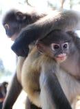 El mono del primate del Langur descansa su brazo en la cabeza de un joven próximo Imagenes de archivo