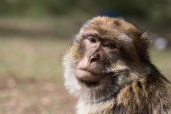 El mono del ` s de Bertuccia, o de Barberia, es un mamífero del primate que vive en atlas en Marruecos Imagen de archivo