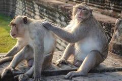 El mono dos encuentra una señal y una mirada en la cámara en Angkor Wat fotografía de archivo