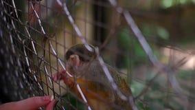 El mono en el parque zoológico a través de la parrilla come el maíz a manos del hombre almacen de video