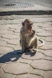 El mono en las calles come la comida Foto de archivo libre de regalías