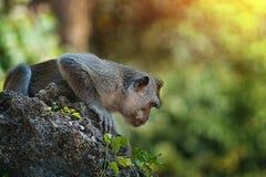 El mono en piedra grande se prepara para saltar, Bali Indonesia fotos de archivo