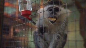 El mono en un parque zoológico detrás de las barras de la jaula, come y mira fijamente los visitantes almacen de metraje de vídeo