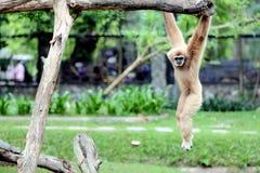 El mono era el trapecio con la diversión. Imagen de archivo