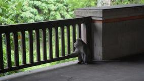El mono está agujereado y triste en el mono Forest Ubud Bali metrajes
