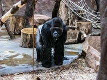 El mono grande está mirando Mono derecho fotos de archivo libres de regalías