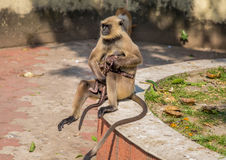 El mono gris del langur de la madre acaricia a su bebé Imágenes de archivo libres de regalías