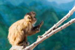El mono hambriento del capuchón cena en una rama Foto de archivo