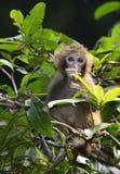 El mono lindo del bebé que come las hojas Imágenes de archivo libres de regalías