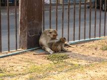 El mono lleva a un bebé en Phra Prang Sam Yod Fotos de archivo