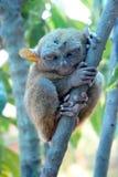 El mono más pequeño. Tarsier Imágenes de archivo libres de regalías