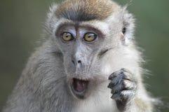 El mono mastica una nuez grande Imagenes de archivo