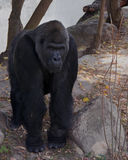 El mono negro grande Gorila Foto de archivo