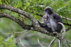 El mono oscuro de la hoja y la hoja oscura joven monkey Fotos de archivo