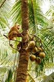 El mono para la cosecha de cocos Fotografía de archivo libre de regalías