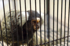 El mono prisionero Imagen de archivo