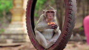 El mono que se sienta dentro de la rueda y come la fruta metrajes