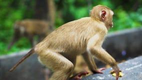 El mono salvaje come plátanos Habitat natural Asia Tailandia, montaña de monos almacen de metraje de vídeo
