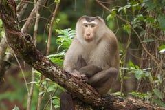 El mono se sienta en el palillo del árbol Fotos de archivo libres de regalías