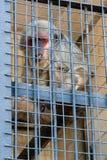 El mono se sienta en una jaula del parque zoológico Foto de archivo libre de regalías