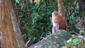 El mono se sienta en una roca en el bosque tropical de Asia almacen de metraje de vídeo