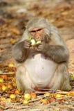 El mono sienta y come la fruta, la India Imagen de archivo
