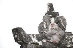El mono sobre el templo de Uluwatu Imagenes de archivo