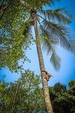 El mono sube en un árbol para cosechar la cosecha de cocoes Fotografía de archivo