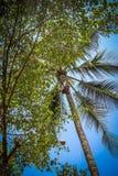 El mono sube en un árbol para cosechar la cosecha de cocoes Imagen de archivo libre de regalías