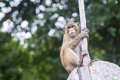 El mono sube las rocas Imágenes de archivo libres de regalías