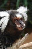 El mono tití común empuja hacia fuera la lengua Imagen de archivo libre de regalías