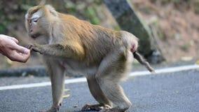 El mono toma una nuez de las manos de un hombre almacen de metraje de vídeo
