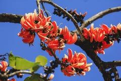 El monosperma del Butea es un árbol mediano foto de archivo