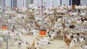 El montón de pollos camina alrededor y se sienta en polos en el sitio en granja paultry almacen de metraje de vídeo