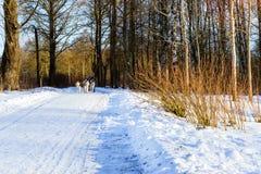 El montar a caballo de la muchacha en el trineo tiró por los huskyes siberianos del perro foto de archivo