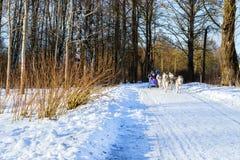 El montar a caballo de la muchacha en el trineo tiró por los huskyes siberianos del perro fotos de archivo