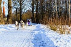 El montar a caballo de la muchacha en el trineo tiró por los huskyes siberianos del perro foto de archivo libre de regalías