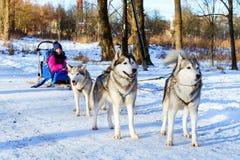 El montar a caballo de la muchacha en el trineo tiró por los huskyes siberianos del perro imagen de archivo libre de regalías
