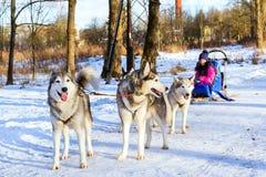 El montar a caballo de la muchacha en el trineo tiró por los huskyes siberianos del perro fotos de archivo libres de regalías