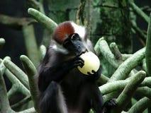 El morder del chimpancé Imagen de archivo libre de regalías